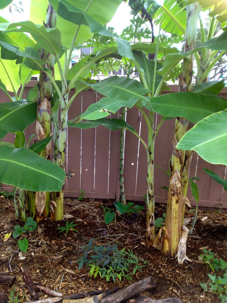Keiki food forest developing